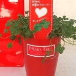 超希少な本物の四つ葉のクローバーの鉢植え